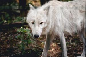 Wolf-stare